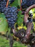 Grabes bleus à une vigne Photographie stock