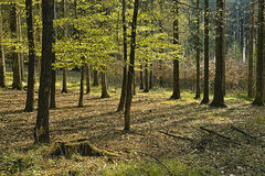 Grabowy las Zdjęcie Stock
