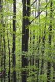 Grabowy las - 01 Zdjęcia Royalty Free
