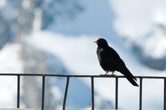 Gracchio alpino o Chough dal becco giallo Fotografia Stock Libera da Diritti