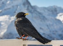 Gracchio alpino vicino alla montagna di Elbrus Immagini Stock Libere da Diritti