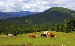 Gracchio delle alpi dell'Austria Fotografia Stock Libera da Diritti