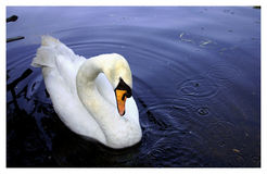 Grace. A swan in Hyde Park, London Stock Photos