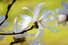 Grace of magnolia. Graceful magnolia flower closeup on a yellow background Royalty Free Stock Photography