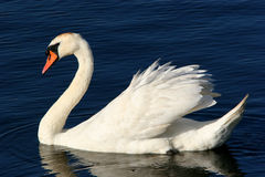 The Grace Of The Swan Stock Photo