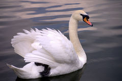 Grace. The grace of a swan gently drifting along the unbroken surface of the lake Stock Photo
