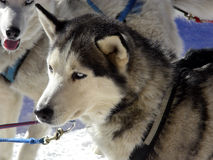 Grace Under Pressure. Alaskan sled dog awaiting the beginning of the race Royalty Free Stock Photo