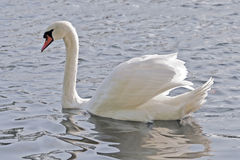 Graceful. White swan - a symbol of cleanlinWhite swan - a symbol of cleanliness and grace Royalty Free Stock Image