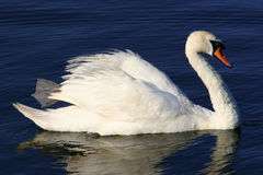 Graceful. White swan floating on water royalty free stock photos