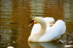 Graceful adult white swan swimming on a lake Stock Images