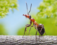 Graceful ant on branch. Portrait of graceful ant formica rufa on branch Royalty Free Stock Images