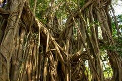 Graceful banyan tree Royalty Free Stock Photos