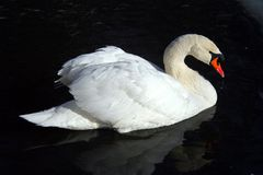 Graceful and beautiful white swan on the evening pond. royalty free stock photos