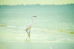 Graceful bird of a heron in the water. On the shore of the ocean. USA. Florida Royalty Free Stock Photo