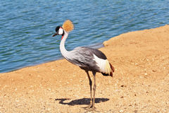 The graceful bird with plumage Royalty Free Stock Photo