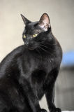 Graceful black cat sitting Stock Photo