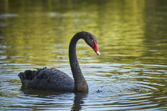 Graceful black swan male. Graceful black swan (Cygnus atratus) male with long S curved neck Royalty Free Stock Images