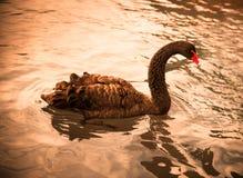 Graceful black swan tonned. Graceful black swan in warm tone Stock Images