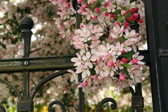 Graceful branches of crab apple blossoms by wrought iron fence. Royalty Free Stock Photos