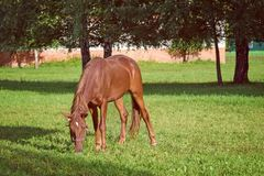 Graceful Brown Horse Pasturing on Green Grass Stock Photo