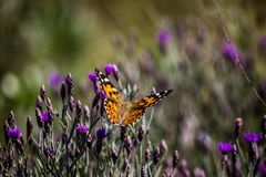 The graceful butterfly. A butterfly sitting on some flowers on top of the Magaliesberg Royalty Free Stock Images