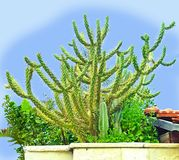 Graceful cactus. A cactus is a member of the plant family Cactaceae. A family comprising about 127 genera with some 1750 known species of the order royalty free stock image