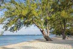Graceful Casuarina Pine Tree on Beach Royalty Free Stock Photography