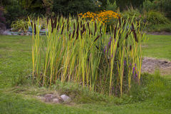 Graceful Cattail Royalty Free Stock Photo