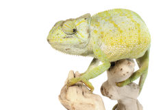 Graceful Chameleon Stock Photos