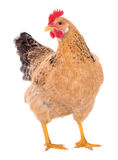 Graceful chicken laying hen, red color. Isolated.Series photos Stock Photography