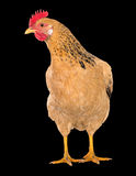 Graceful chicken laying hen, red color. Isolated.Series photos Royalty Free Stock Photos
