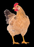 Graceful chicken laying hen, red color. Isolated.Series photos Stock Photos