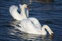 Graceful couple of white swans Royalty Free Stock Photography