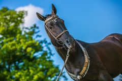 Graceful dark brown akhal teke horse standing outdoors on a sunny day. Graceful dark brown akhal teke horse with silver and red show halter and a lead on royalty free stock photos