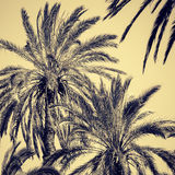 Graceful date palms. As a nature background. Toned effect Stock Photo