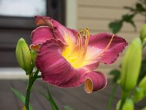 Graceful daylily. Graceful daylily that I have on my lot. Photo taken this summer royalty free stock images