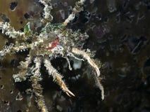 Graceful Decorator Crab Oregonia gracilis Royalty Free Stock Photo
