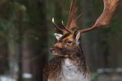 Graceful doe. Deer on a background of a winter forest. stock photo