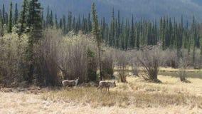 Graceful elk grazing in a grassy meadow in the yukon territories stock video footage