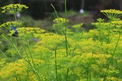 Graceful Fennel Flowers Blossom in Spring. Graceful and beautiful fennel flowers blossoming in spring. Fennel is widely cultivated, and its aniseed is used in royalty free stock photography