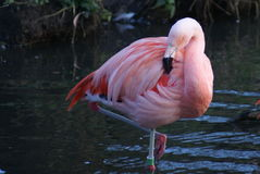 Graceful flamingo preening. Pink flamingo preening and watching what's going on around it Stock Image
