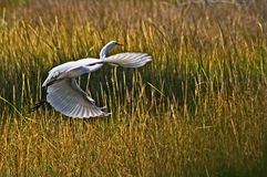Graceful Flight of White Egret. Flight of white egret at Seashore State Park, Virginia Beach, Virginia Royalty Free Stock Photo