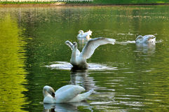 Graceful fluttering swan with 3 others swans Stock Photos
