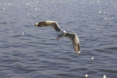 Graceful flying seagulls Royalty Free Stock Photo