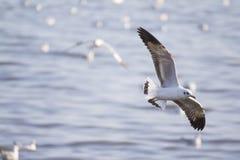 Graceful flying seagulls Stock Image