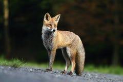 Graceful fox Royalty Free Stock Image