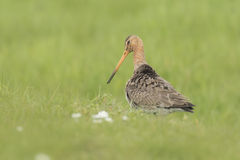 Graceful godwit bird in a meadow Royalty Free Stock Photography