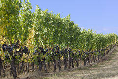 Graceful grapevines. A row of graceful pinot noir grapevines under a blue fall sky winds up a gentle hill Stock Photos