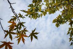 Graceful green leaves of Acer saccharinum on the right and dark red leaves of Liquidambar styraciflua on the left against the blue. Sky. Nature concept for stock photo