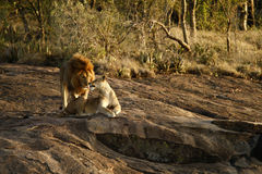 Graceful Greeting. African Lion & Lioness greeting eachother during the breeding season Stock Photo